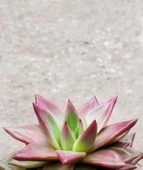 Plante succulente à feuilles persistantes avec des rosettes de feuilles colorées
