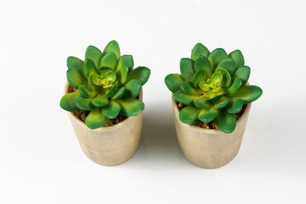 Plante succulente sur fond de papier blanc de couleur, vue de dessus, plat poser