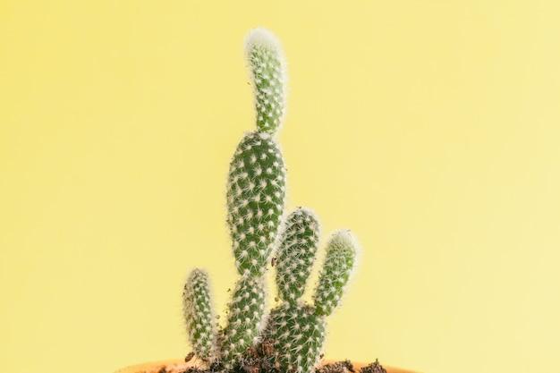 Plante succulente sur un jaune.