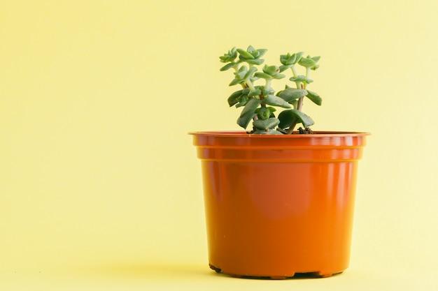 Plante succulente sur un jaune,