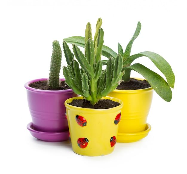 Plante succulente en pot sur fond blanc