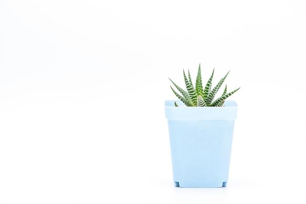 Une plante succulente en pot