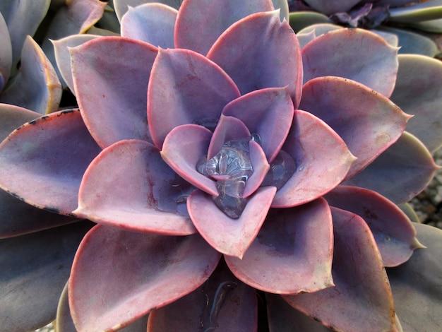 Plante succulente pourpre clair avec gouttes de rosée du matin, gros plan pour le fond