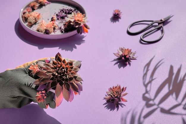 Plante succulente sempervivum en main gantée