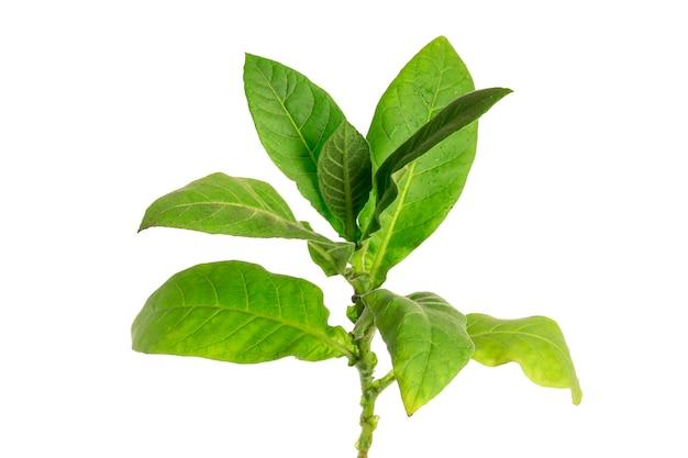 Plante de tabac sur fond blanc