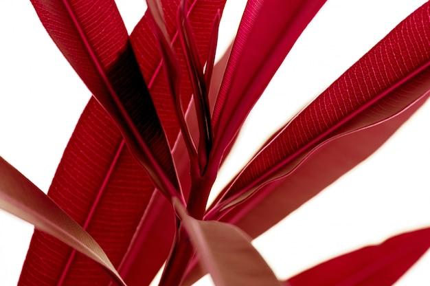 Plante tropicale rouge feuilles bouchent isolé sur fond blanc. nature créative à contraste élevé.