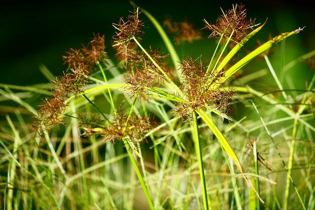 Plante verte papyrus avec lumière naturelle dans la forêt tropicale