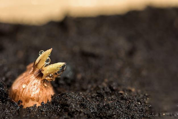 Planter des bulbes dans le sol dans un bol à la maison.