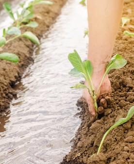 Planter des choux dans le champ