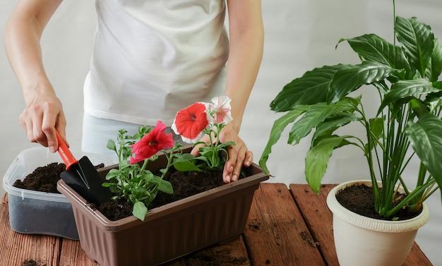 Planter une femme avec des outils de fleurs de pétunia de jardin dans un pot de balcon