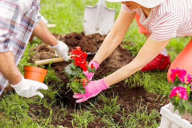 Planter des fleurs rouges. vue de dessus du couple portant des gants plantant des fleurs rouges par une belle journée d'été