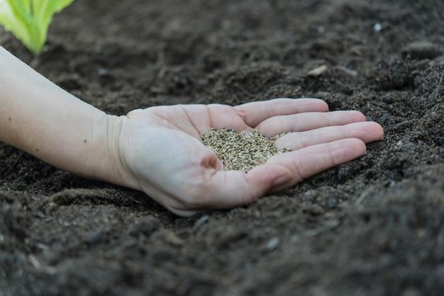 Planter de la laitue à la maison dans de grands pots