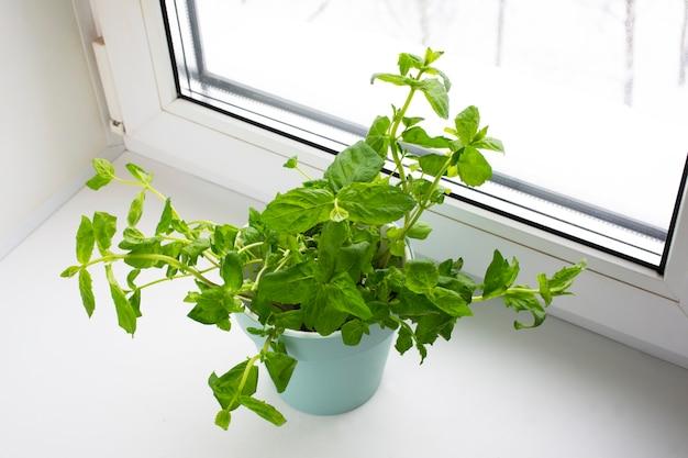 Planter des légumes verts dans un pot du magasin dans le pot. melissa officinalis dans les mains des femmes. plantes de menthe utiles et savoureuses sur le rebord de la fenêtre, nutrition saine.