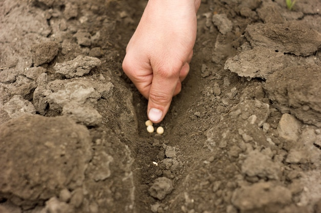 Planter à la main des graines de pois, des cultures de printemps, de l'agriculture
