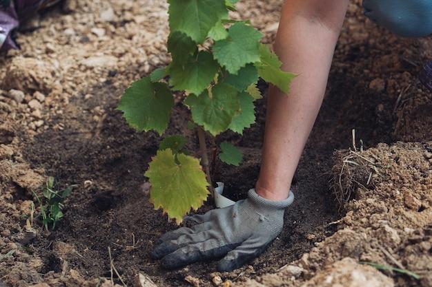 Planter un plant de raisin dans un trou d'un chalet d'été.