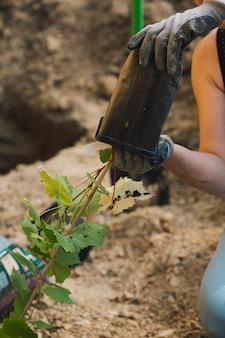 Planter un plant de raisin dans un trou d'un chalet d'été