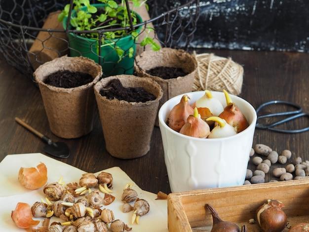 Planter des plantes bulbeuses - crocus, tulipes pour forcer le printemps
