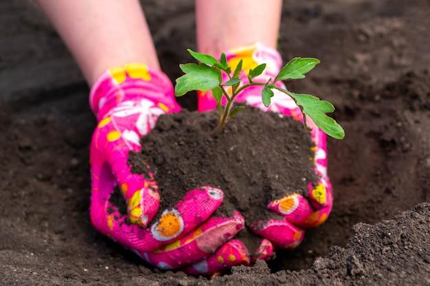 Planter des plants de tomates
