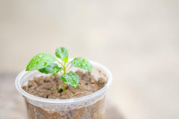 Planter des pommiers dans des verres en plastique. copie espace