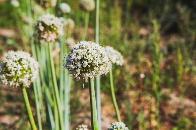 Plantes angelica à l'état sauvage, vue latérale.