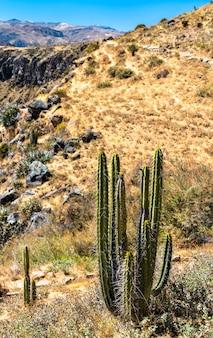 Plantes de cactus au canyon de colca au pérou