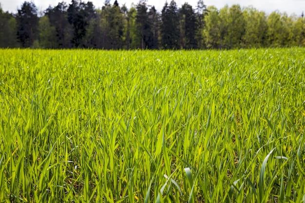 Plantes céréalières agricoles
