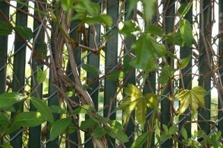 Plantes sur une clôture