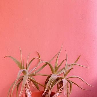 Plantes sur concept rose. aloès.