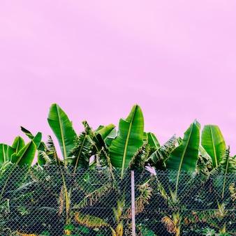 Plantes sur le concept rose. plantation de bananes, humeur tropicale de mode