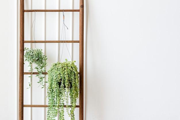 Plantes de diamant blanc dischidia oiantha accrochées à une échelle en bois