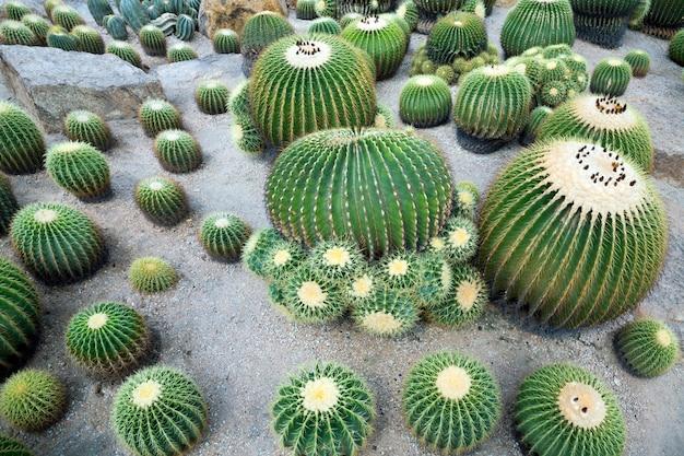 Plantes du désert de cactus sur le terrain.