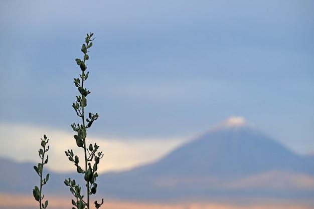 Plantes du désert avec le volcan licancabur couvert de neige floue, san pedro de atacama, chili