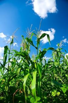 Plantes du maïs luch vert sur fond de ciel bleu