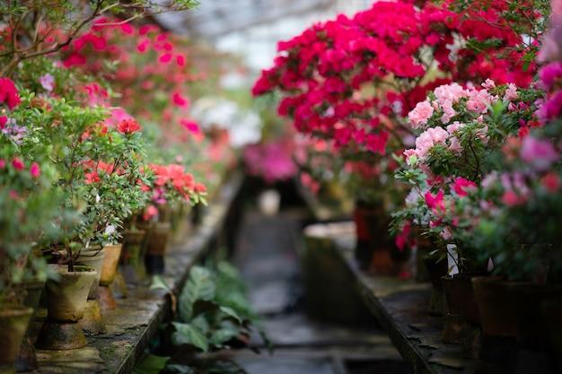 Plantes à fleurs azalées en fleurs gros plan. fleurs de bourgeons rouges décoratifs en fleurs et branches de feuilles vertes.