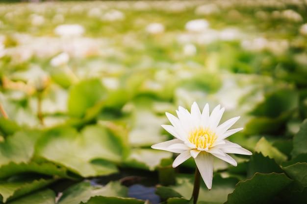 Plantes et fleurs de lotus dans l'étang, thaïlande.