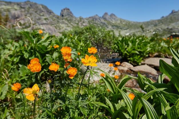 Plantes et fleurs de montagne rares poussent montagne