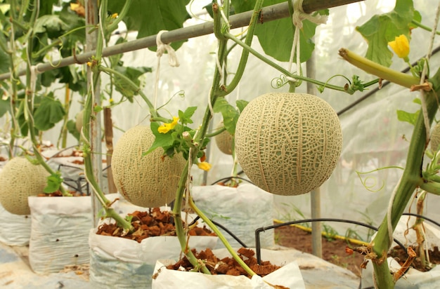 Plantes fraîches de melons cantaloup poussant dans la ferme sous serre.