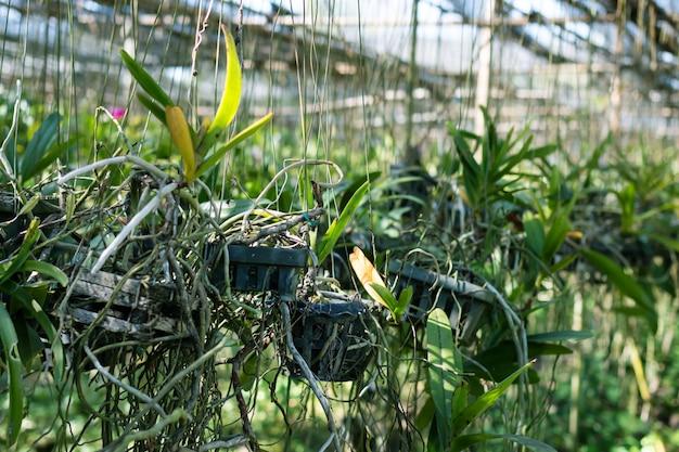 Plantes fraîches d'orchidées en pépinière d'orchidées