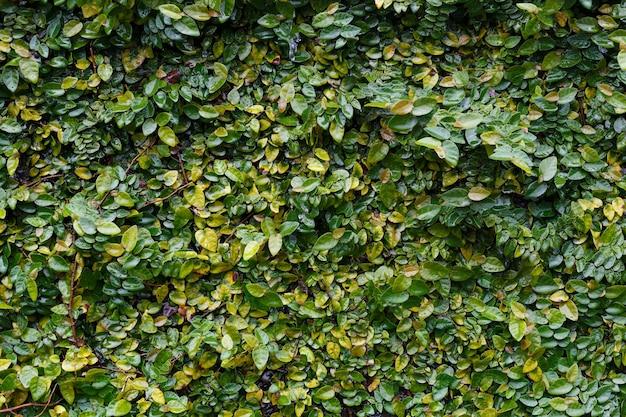 Les plantes grimpantes sur le plâtre