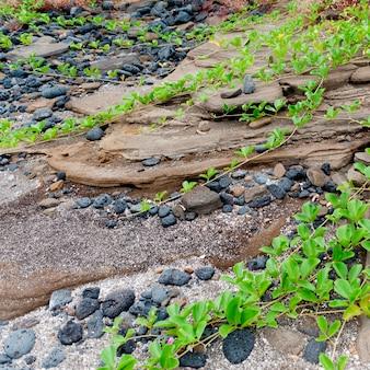 Plantes grimpantes sur les rochers, puerto egas, île de santiago, îles galapagos, équateur