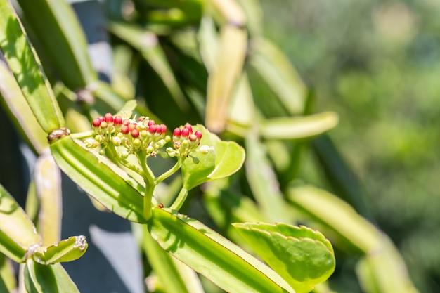 Plantes herbacées, cissus quadrangularis.