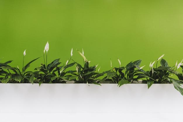 Plantes d'intérieur élégantes de lis de paix