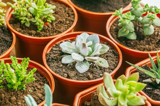 Plantes d'intérieur à fleurs succulentes.