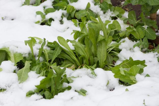 Plantes de jardin biologiques recouvertes de neige