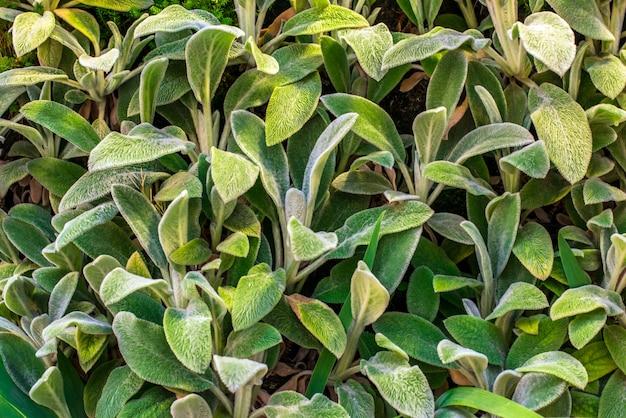 Plantes de jardin ornemental stachys byzantine - stachys «oeufs de moutons» en laine. fond de feuilles moussantes. stachys byzantina laisse fond, paysage, alpin