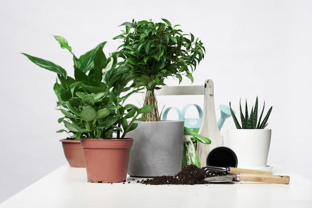 Plantes à la maison, cactus en pots avec pelle et râteau sur fond gris vide