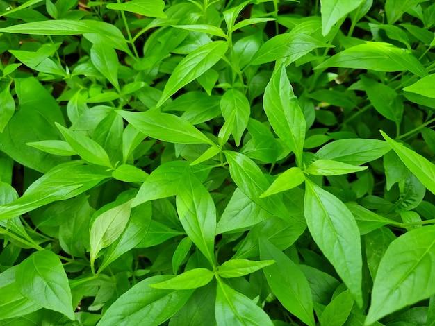 Plantes médicinales antivirales andrographis paniculata
