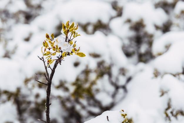 Plantes méditerranéennes couvertes par une chute de neige inattendue.