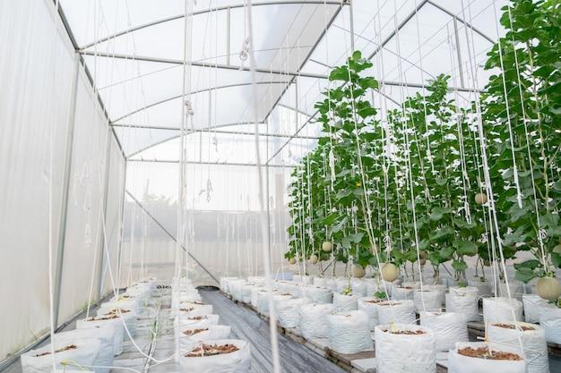 Des plantes de melon de ferme poussant dans une maison verte