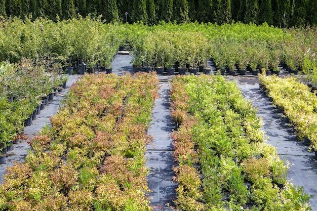 Les plantes en pot sont vendues à la jardinerie. vente de plantes à l'extérieur. de nombreuses variétés de plantes vertes. fleurs, sapin, épicéa, thuya, pommier et autres arbres fruitiers. tout pour décorer votre jardin.
